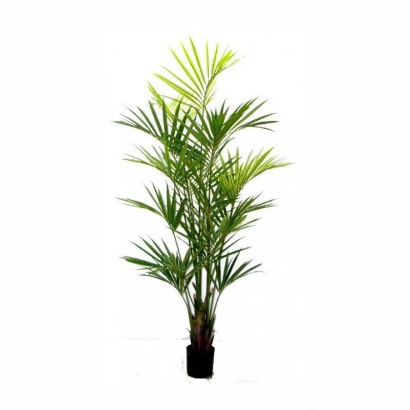 Pianta kentia h180cm pn139 80 172 370 5a piante e for Kentia pianta