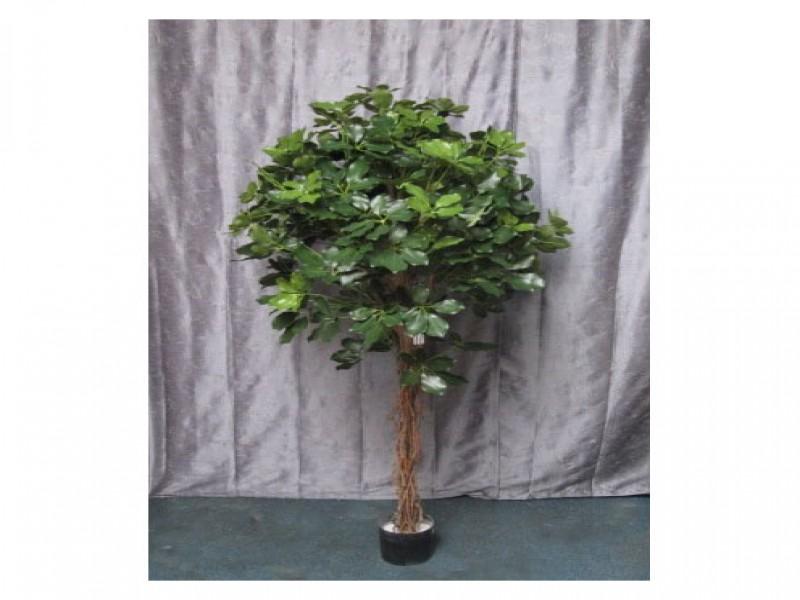 Schefflera 1 50mt pn116 60 172 1001 5 piante e fiori - Pianta schefflera ...